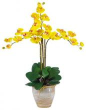 Yellow Twin Orchid Plant