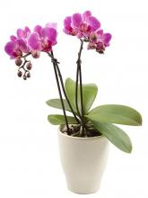 Phalaenopsis Orchid Twin Plant